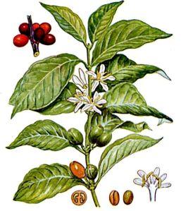 Coffea arabica, L.1753, varietà in estinzione