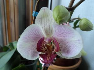 La mia orchidea rifiorita - foto maggio 2012
