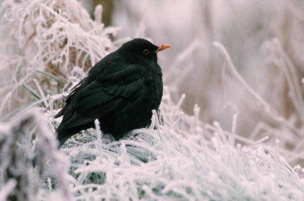foto merlo nella neve