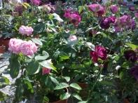 Il tunnel di rose
