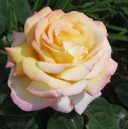 Rosa Madame Meilland