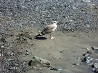 gabbiano sulla riva