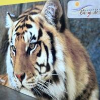 Le tigri del Bangladesh