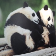 I panda della Cina