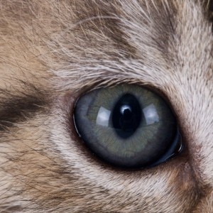 Eye of a cat