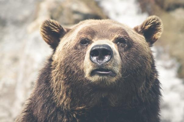 Un orso in libertà