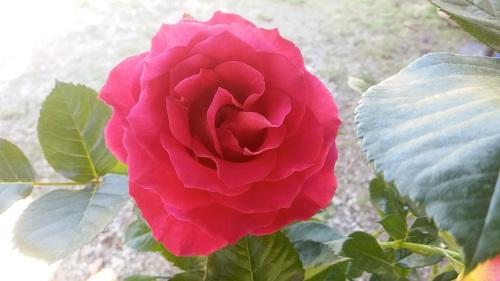 rosadibrera