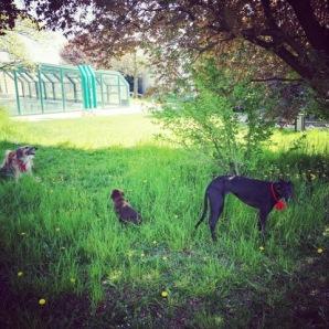 Un po' di vita da giardino insieme al suo amico borzoi e a una cucciola di labrador un po' troppo vivace per i suoi gusti.