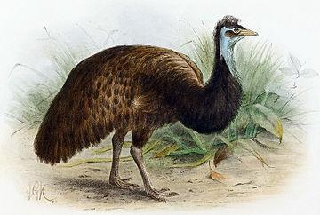 Emù nero