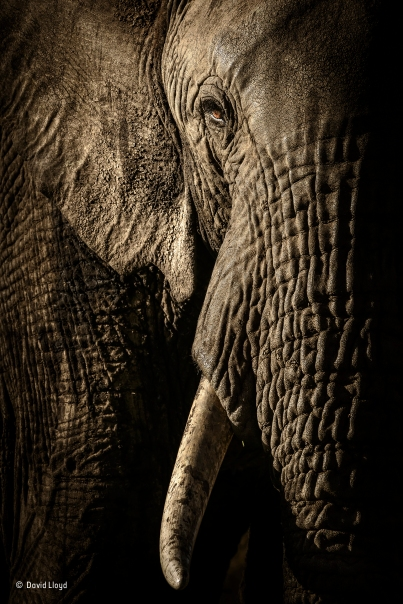 The power of the matriarch © David Lloyd_Portraits_Wildlife Photographer of the Year 2017