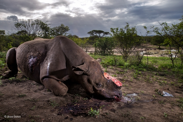 Memorial to a species © Brent Stirton - Wildlife Photographer of the Year 2017