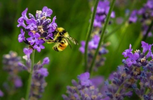 Un terzo delle api e degli insetti è a rischio estinzione