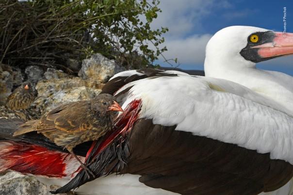 27 © Thomas P Peschak - Blood thirsty -Wildlife Photographer of the Year